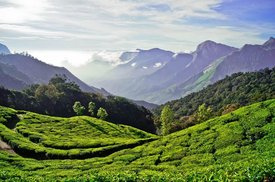 Плантации чайные Керала